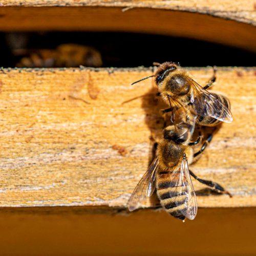 Bienen-min